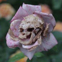 dead.flowers